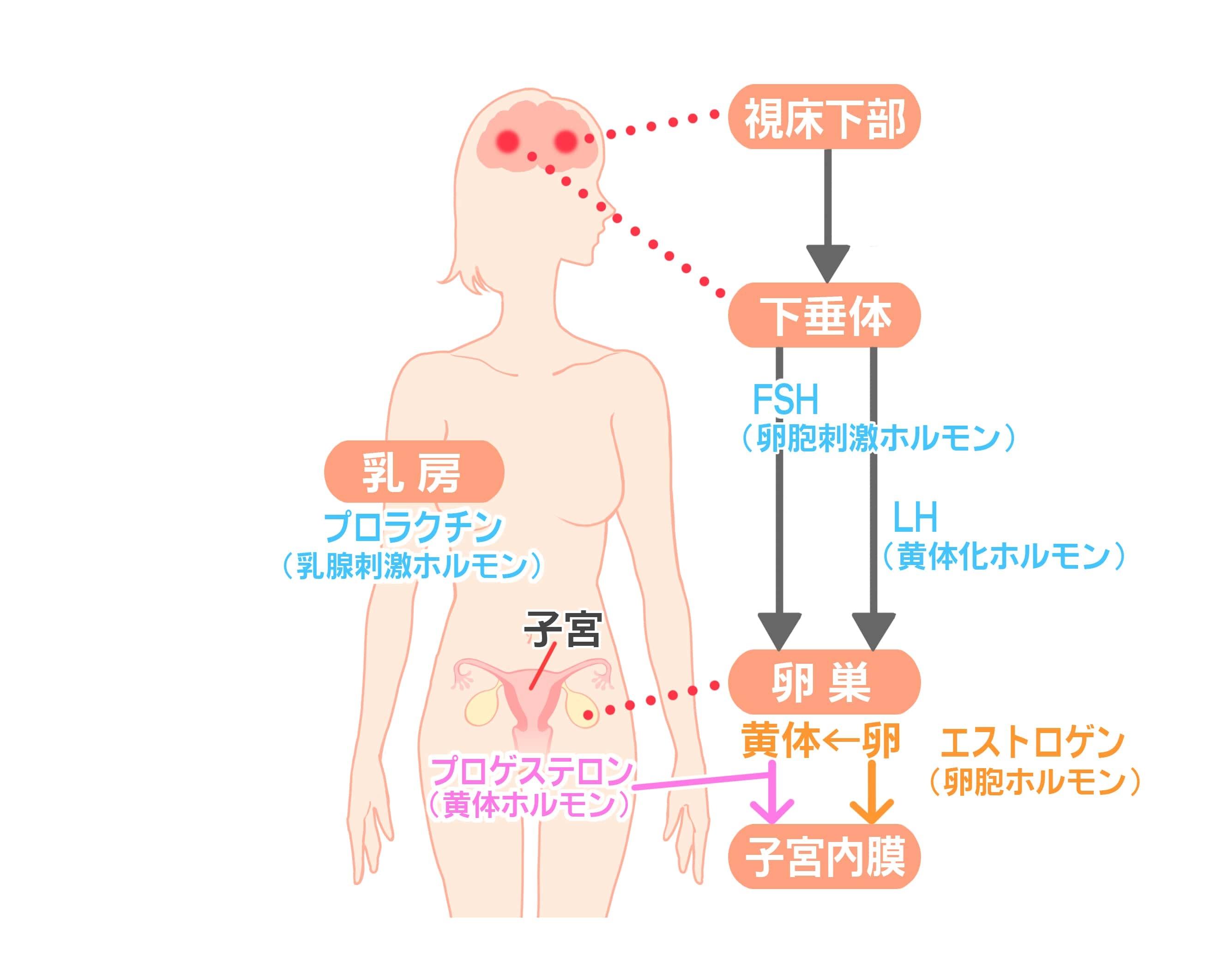 女性ホルモン_2-min.jpg